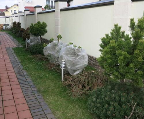 Реанимация хвойных растений после зимовки